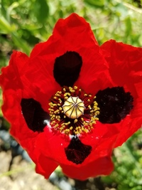 Pierrot Corn Poppy