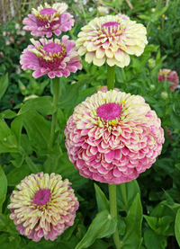 Queen Lime Blush (Zinnia)