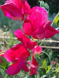 Queen Alexandra (Sweet Pea)