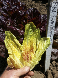 Red Butter Romaine Lettuce