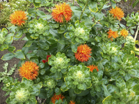 Red (Carthamus/Safflower)