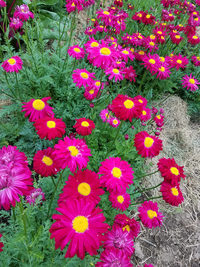 Robinson's Red (Pyrethrum/Painted Daisy)