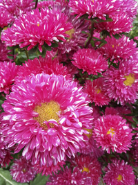 Sahin Matsumoto Red Stripe (China Aster)