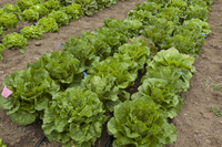 Sea of Romaine Mix (Lettuce)