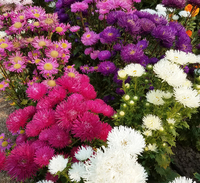 Seastar Mix (China Aster)