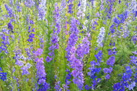 Shades of Blue (Larkspur)