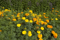 Shades of Gold Mix Marigolds: Tall