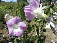 Split Second (Morning Glory)
