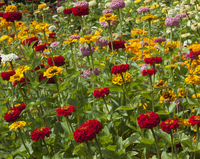 State Fair Mix (Zinnia)