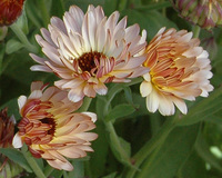 Strawberry Blonde (Calendula)