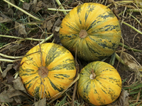 Styrian Pumpkin: Hulless Seeded
