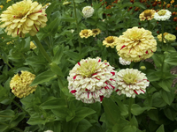 Swirls Mix (Zinnia)
