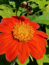 Torch Tithonia/Mexican Sunflower